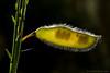 """<span style=""""color:#FBEC5D"""">Leguminosa <em>(Telline)</span></em></span></em>  Los contraluces de estructuras vegetales pilosas cuando el sol está bajo son muy atractivos. La vaina de esta  retamilla <em>(Telline)</span></em> deja ver en su interior los embriones de nueva vida al final de una apacible tarde en las montañas de Madeira.   Nikon D200, Nikkor 105mm f2.8, tubos de extensión, f22, 1/40, (-0.7ev), ISO 100."""
