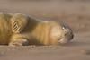 """<span style=""""color:#FBEC5D"""">Durmiendo con el viento</span></em>  Con apenas unos días de vida, esta pequeña foca gris <em>(Halichoerus grypus)</span></em> duerme plácidamente, ignorando el intenso frío, el continuo viento y los golpes de los afilados granos de arena que éste levantaba. Tomé la foto tumbada, a ras de suelo, para captar la ternura de esta cría durmiendo, a pesar de las condiciones adversas de su entorno.  Nikon D200, Nikkor 80-400mm, f/5.6, 1/800 (-0.3ev), ISO 125"""