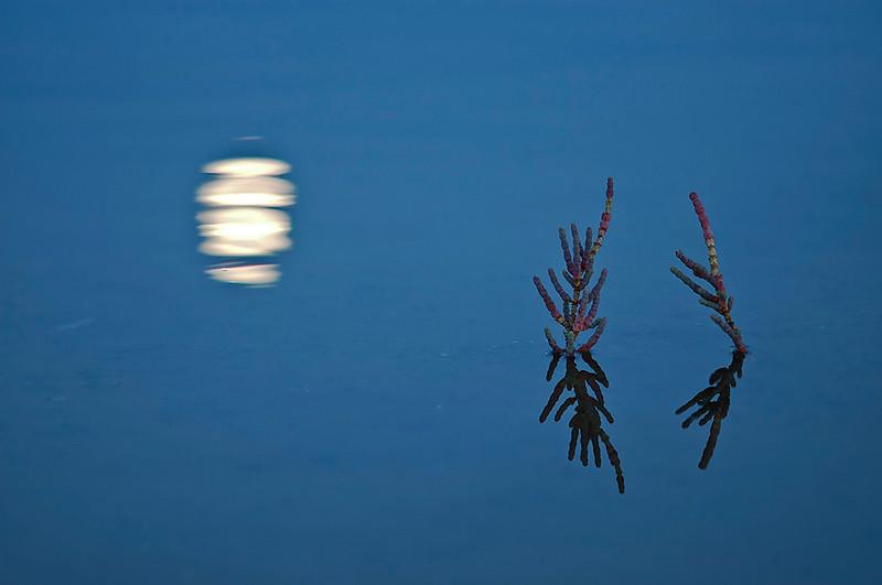 """<span style=""""color:#FBEC5D"""">Luna en la marisma</span>   Caía la tarde y la luna comenzaba a reflejarse en las aguas calmadas de la marisma.  Llamó mi atención la simetría de espejo de las plantas de <em>Sarcocornia</span></em> y completé el encuadre con las pinceladas que aportaba el reflejo de la luna. Tuvieron que darse varias circunstancias para realizar esta foto: la marea debía estar alta para que se inundara la zona, no debía soplar el viento, para que el agua estuviera calmada y poder obtener un buen reflejo de las plantas, y era necesario también, que la luna saliese por el lugar adecuado y temprano, justo al retirarse el sol, para que se conservasen los colores azules en el agua.  Nikon D70, Nikkor 105mm f2.8, f/3, 1/20  Finalista en el XXIII Concurso Fotográfico Día Mundial de Medio Ambiente 2006, organizado por la Consejería de Medio ambiente de la Junta de Andalucía."""
