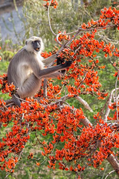 Jawai, Rajasthan, India.