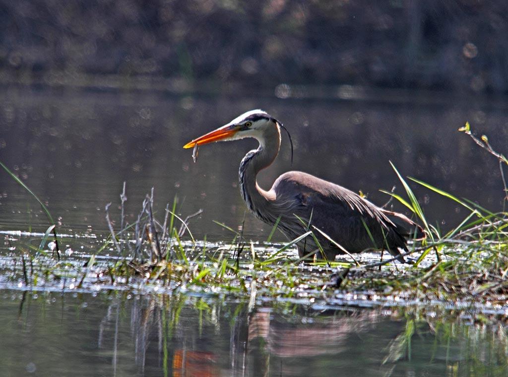 IMAGE: https://photos.smugmug.com/Other-Galleries/Kayak-photography/i-z8mNP33/0/71b86a19/O/Heron-1.jpg
