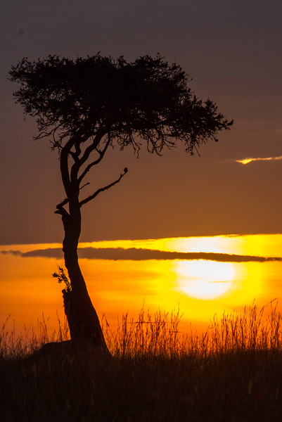 Masai Mara National Reserve, Kenya. Acacia sunset.