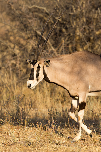 Samburu National Reserve, Kenya. Oryx.