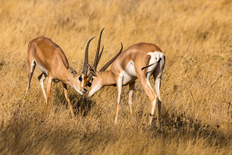 Samburu National Reserve, Kenya. Grant's gazelle.