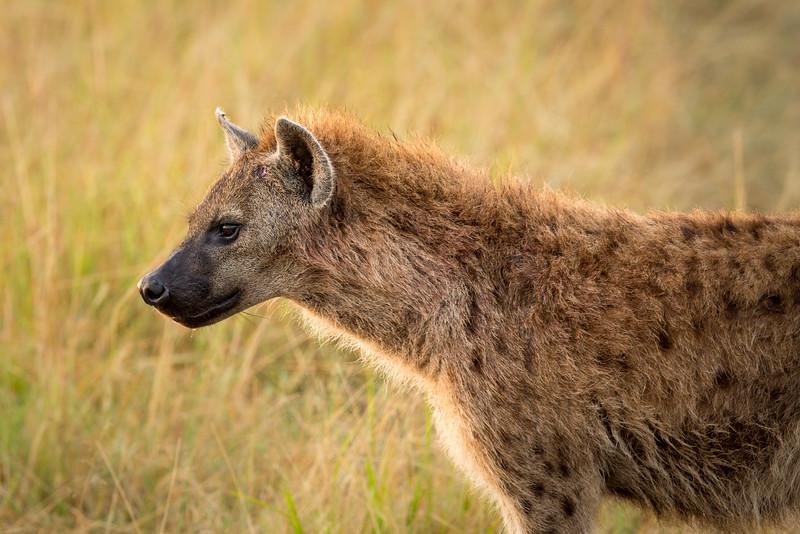 Masai Mara National Reserve, Kenya. Hyena.