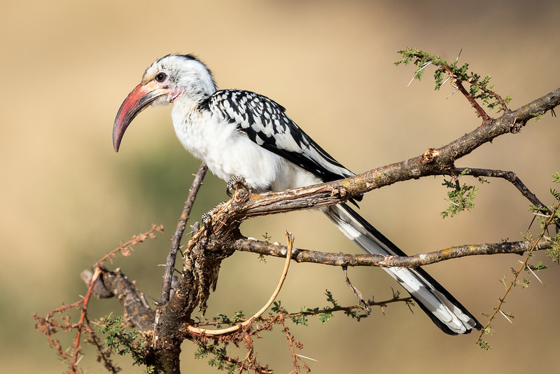 Samburu National Reserve, Kenya. Red-billed hornbill.