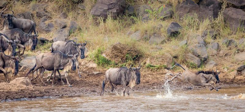 Masai Mara National Reserve, Kenya. Wildebeest.