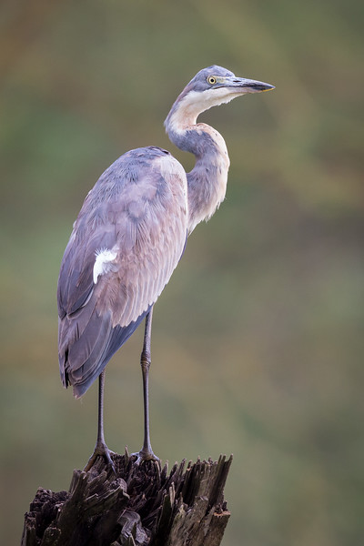 Lake Nakuru National Park, Kenya. Grey heron.