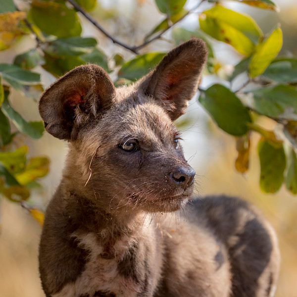 Selinda, Okavango Delta, Botswana. An intent African wild dog pup near its den in the mopane woodland.