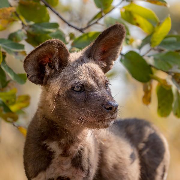 Selinda, Okavango Delta, Botswana. An intent African wild dog pup near its den in the mopane woodland.