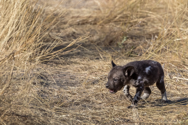 Chitabe, Okavango Delta, Botswana. A very young African wild dog pup, plaintively crying. It is just starting to lose its original all-black coat.