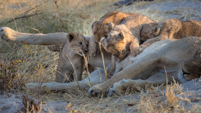 Chitabe, Okavango Delta, Botswana. This lioness has just rolled from one side to the other and her cubs are re-establishing their nursing positions.