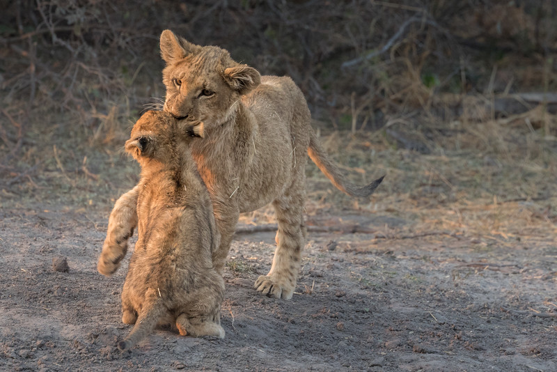 Chitabe, Okavango Delta, Botswana. Playful lion cubs from distinct litters.