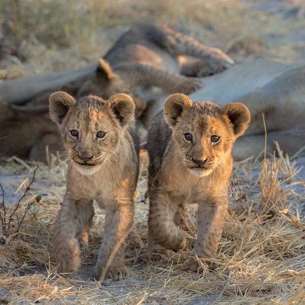 Chitabe, Okavango Delta, Botswana. Two lion cubs finish nursing and get ready for play time.