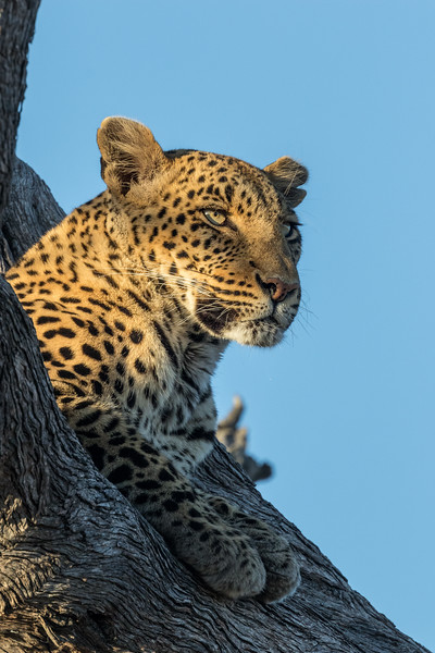 Vumbura, Okavango Delta, Botswana. A perched leopard scans for prey.