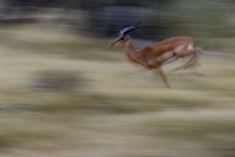 Kwara, Okavango Delta, Botswana. A racing impala.