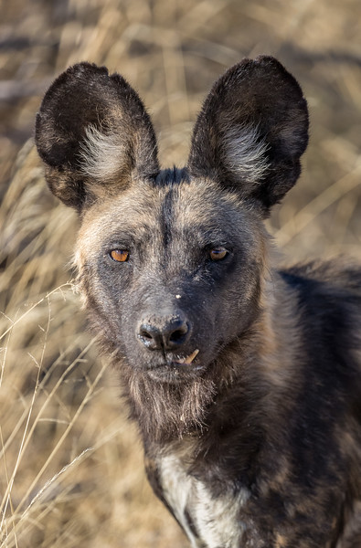 Chitabe, Okavango Delta, Botswana. An intently focused African wild dog. Note the visible left canine tooth.
