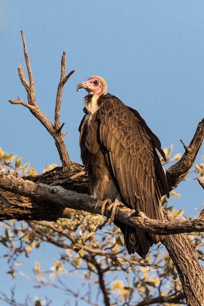 Selinda, Okavango Delta, Botswana. A hooded vulture waits for its turn to feed on an elephant carcass. Scavengers go last.