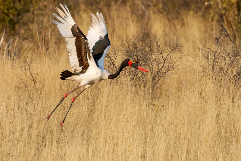 Selinda, Okavango Delta, Botswana. A  male saddle-billed stork moves to a different location down the spillway.