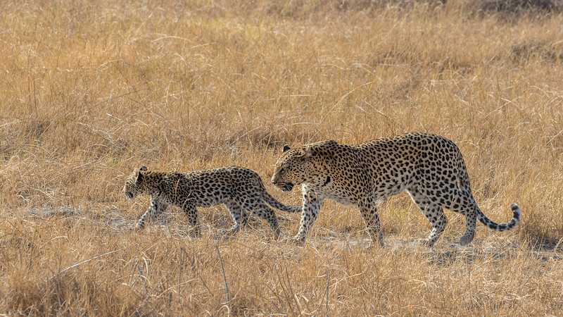 Chitabe, Okavango Delta, Botswana. A leopard mother and her cub.