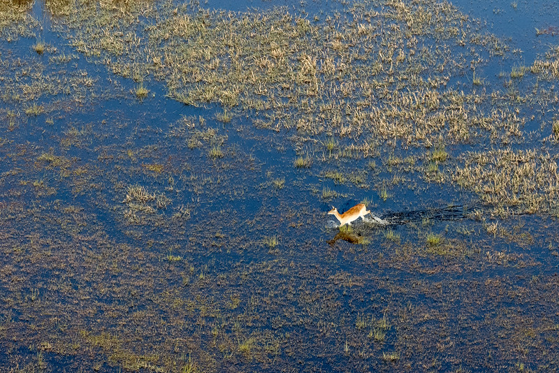 Above Kwando area, Okavango Delta, Botswana. A red lechwe runs through shallow water. Lechwe legs are covered in a water-repellant substance that helps them run quite fast in knee-deep water.