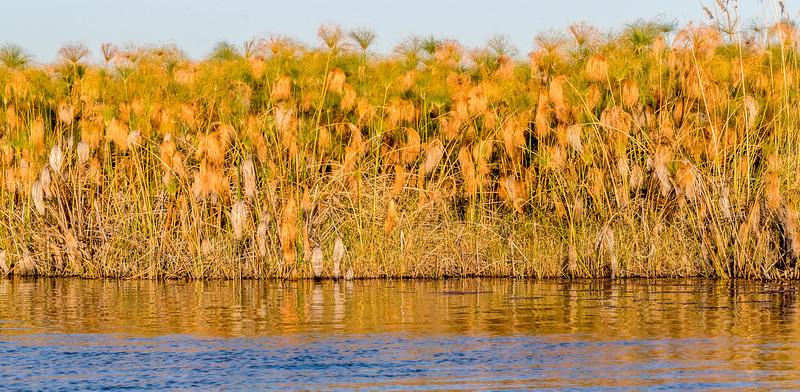 Vumbura, Okavango Delta, Botswana. Papyrus are abundant in the permanent swamps along the fringes of larger delta channels.