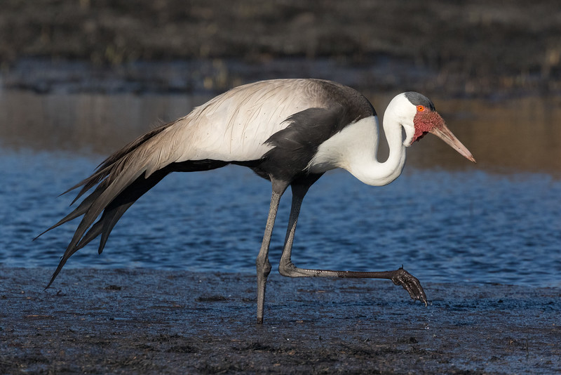Kwara, Okavango Delta, Botswana. A wattled crane forages for food in recently arrived fresh water. These are the largest cranes in Africa and the second largest in the world.