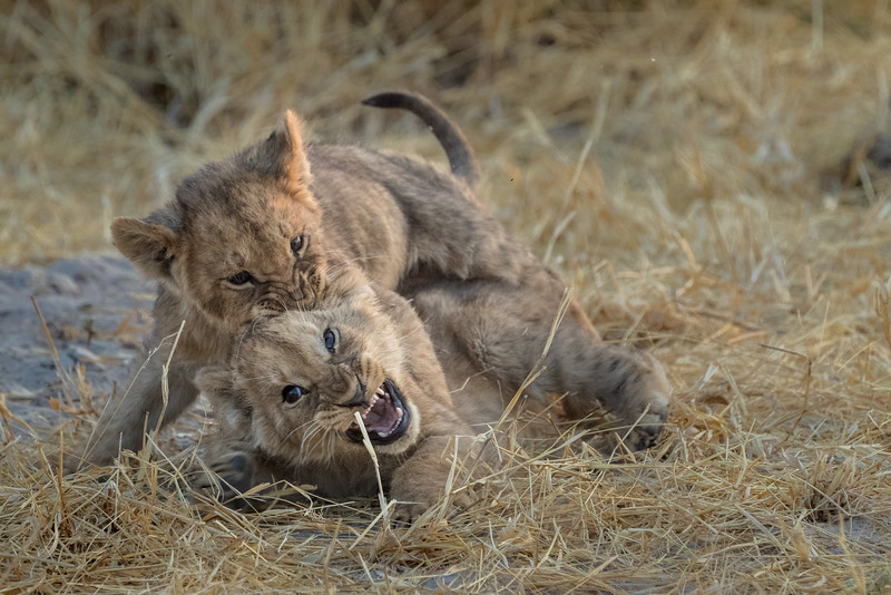 Chitabe, Okavango Delta, Botswana. A playful pair of lion cubs.