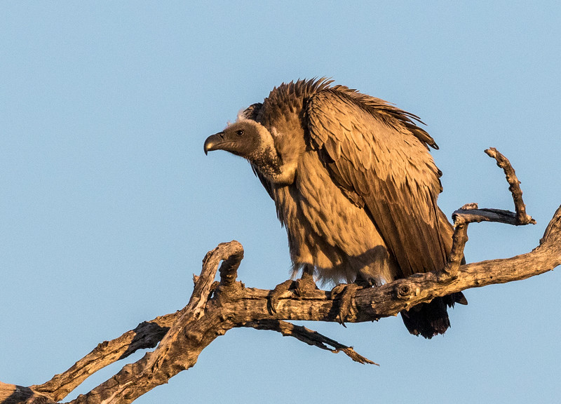 Chitabe, Okavango Delta, Botswana. A white-backed vulture searches for scavenging opportunities.