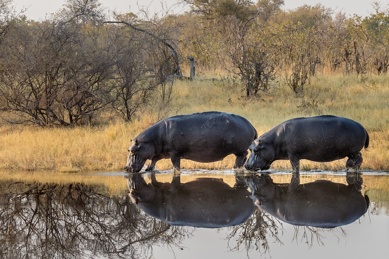 Selinda, Okavango Delta, Botswana. This pair of hippos is making an unusual daylight transit along the edge of the spillway to join a larger group, likely for increased safety.