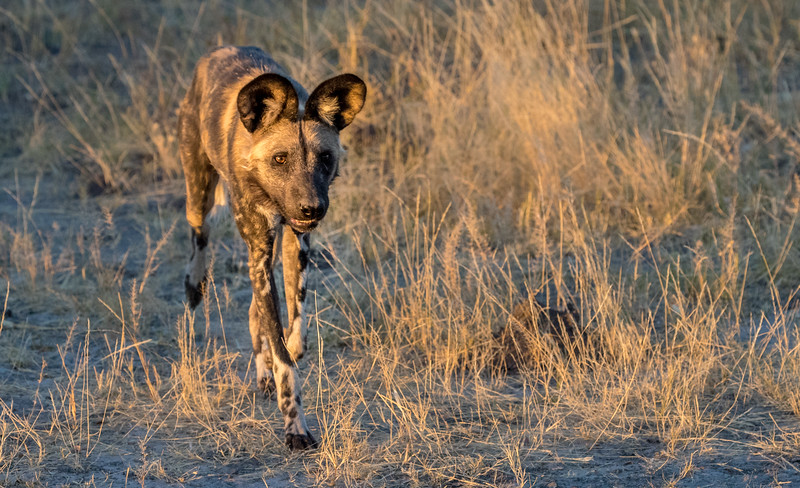 Chitabe, Okavango Delta, Botswana. An African wild dog on the  hunt as the sun sets.