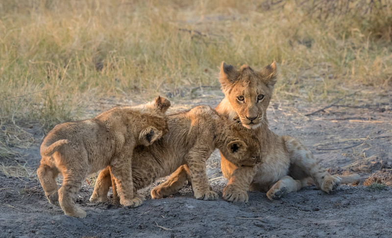 Chitabe, Okavango Delta, Botswana. Playful lion cubs. The two on left are from one litter and the older cub on the right is from another.