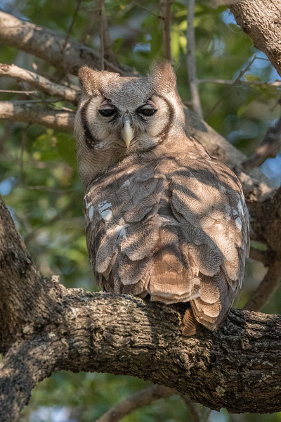 Chitabe, Okavango Delta, Botswana. A Verreaux's eagle owl. Also known as giant eagle owls, these are the largest owls in Africa.