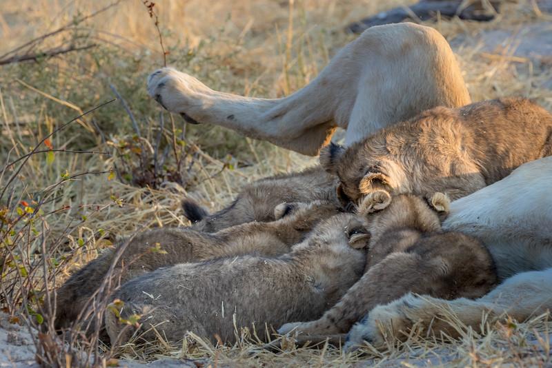 Chitabe, Okavango Delta, Botswana. Lion cubs nursing.