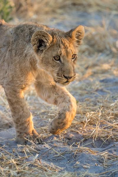 Chitabe, Okavango Delta, Botswana. A lion cub looks for a play partner among its sibliings.