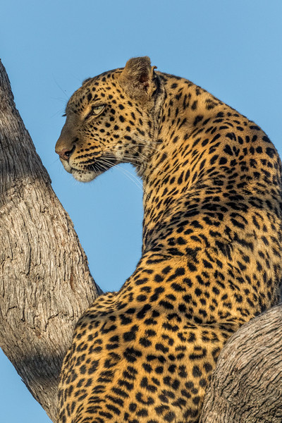Vumbura, Okavango Delta, Botswana. A leopard scans for prey from its leadwood tree perch.