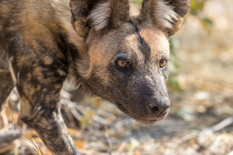 Selinda, Okavango Delta, Botswana. An African wild dog is intrigued by a safari vehicle.