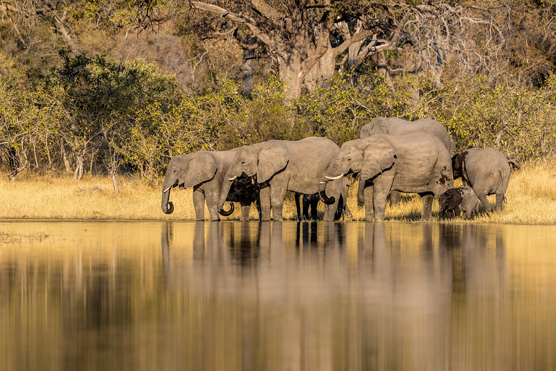 Selinda, Okavango Delta, Botswana. An elephant breeding herd comes to the spillway for water.