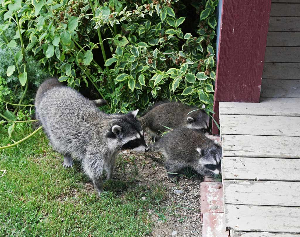 IMAGE: https://photos.smugmug.com/Other-Galleries/Small-Animals/i-WphpcWn/0/479f08c4/O/Raccoons.jpg