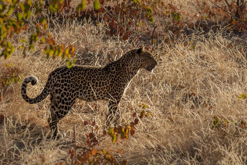 Mashatu Game Reserve, Botswana. Leopard.