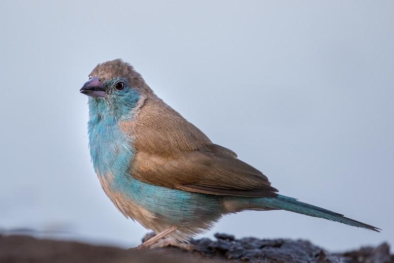 Mashatu Game Reserve, Botswana. Blue waxbill.
