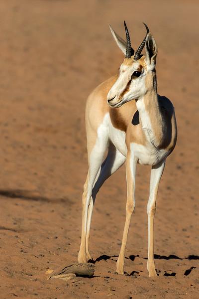Tswalu Kalahari Reserve, South Africa.  Grant's gazelle.