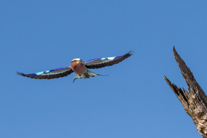 Mashatu Game Reserve, Botswana.  Lilac-breasted roller.