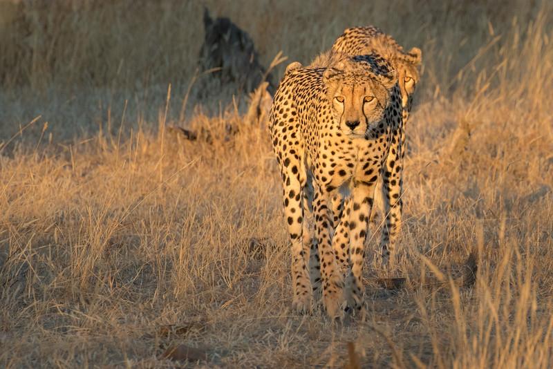 Mashatu Game Reserve, Botswana. Cheetahs.