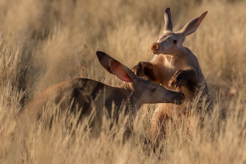 Tswalu Kalahari Reserve, South Africa. Aardvarks.