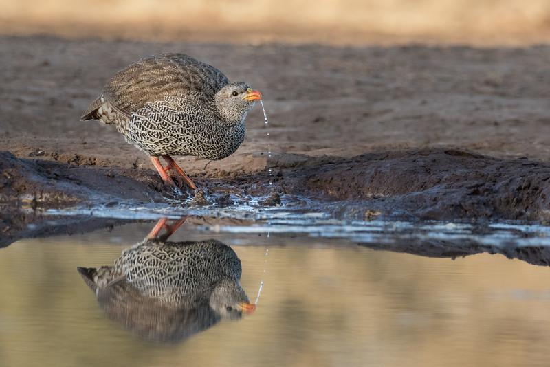 Mashatu Game Reserve, Botswana.  Natal francolin.