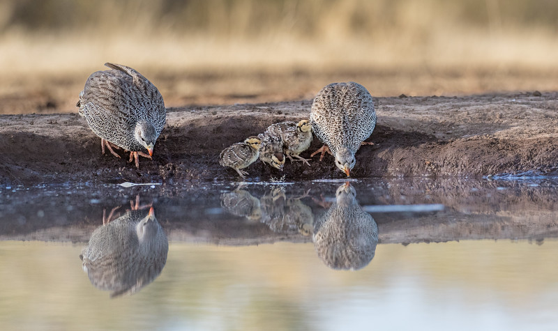 Mashatu Game Reserve, Botswana.  Natal francolins.