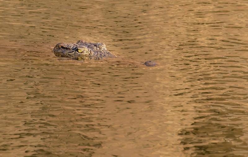 Mashatu Game Reserve, Botswana. Nile crocodile.