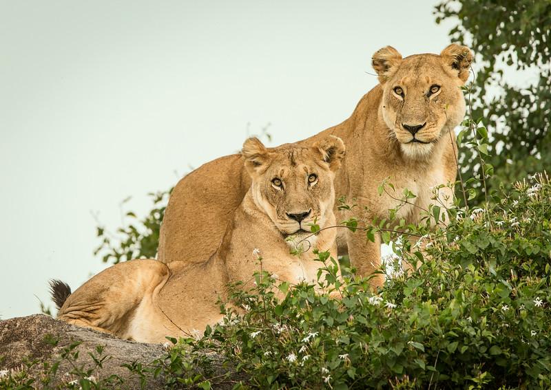 Serengeti, Tanzania: Lion