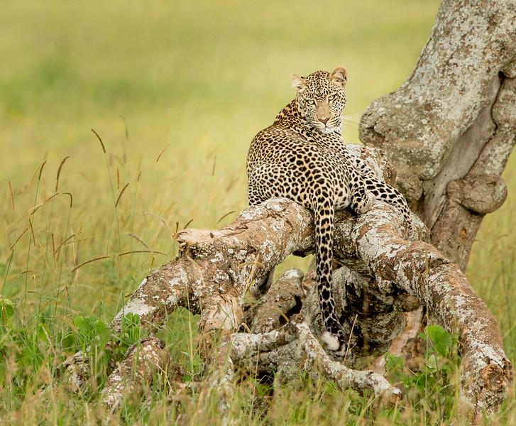 Serengeti, Tanzania: Leopard
